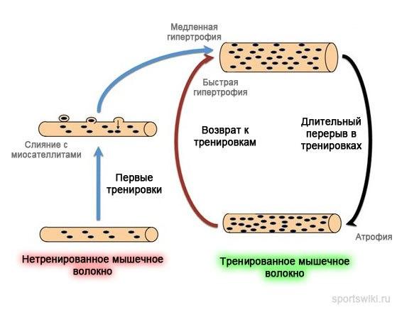 Механизм мышечной памяти